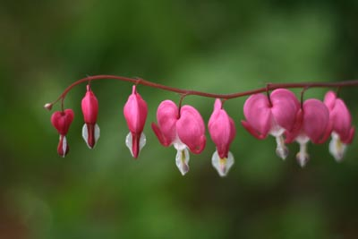 bleeding_heart_may08.jpg