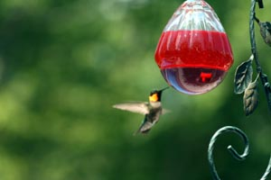 hummingbird_two.jpg