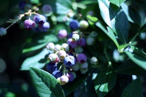 blueberry_bush.jpg