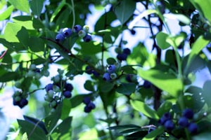 blueberry_bush_2.jpg