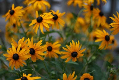 black_eyed_susans.jpg