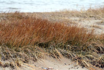 winter_beach_grass.jpg